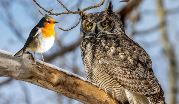 The Owl & the Robin